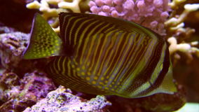 Two vivid fishes in aquarium. Two vivid fishes underwater closeup shot Algae Blenny and Sailing Tang among coral reef stock footage