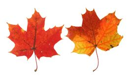 Two vivid maple leaves royalty free stock image