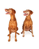 Two Vizsla Dogs Looking to Side Stock Images