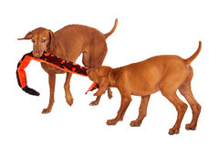 Two Vizsla Dogs Playing With Toy Stock Photos