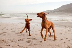 Two vizslas playing Royalty Free Stock Image