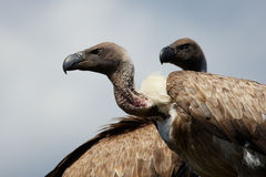 Two vultures close together Royalty Free Stock Images