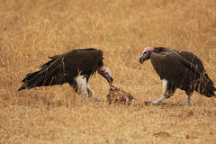 Two vultures Royalty Free Stock Photography
