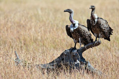 Two vultures sits on the snag Stock Photography