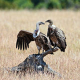 Two vultures sits on the snag. Trans Mara Game Reserve, Kenya Stock Image