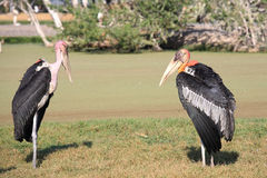 Two Vultures standing on the field Stock Image