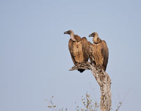 Two vultures in a tree sitting Stock Photo