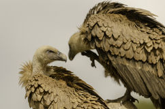 Two vultures on a tree. Stock Photography