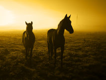 Two waiting horses in the sunrise_toned Royalty Free Stock Images