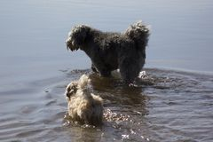 Two walking dogs. In the water Royalty Free Stock Image