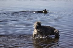 Two walking dogs. In the water Stock Images