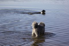 Two walking dogs. In the water Royalty Free Stock Photos