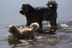 Two walking dogs. In the water Stock Image