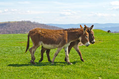 Two Walking Donkeys Stock Images