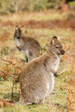 Two wallabies. Are stand up, Burny island, Australia royalty free stock photography