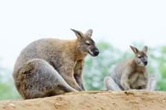 Two wallabies Royalty Free Stock Photography