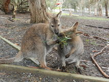 Two Wallabies Eating Royalty Free Stock Photography