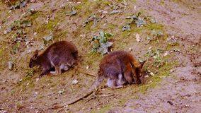 Two wallabies graze among the green grass. A wallaby is a small animal found in Australia and New Guinea of same family as kangaroos. A wallaby is a small stock video