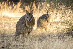 Two wallabies in long grass Royalty Free Stock Photos