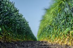Two walls of perfectly smooth and similar plants of wheat and barley, like two armies, one opposite the other against the blue sky stock images