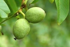 Two walnuts Royalty Free Stock Photo
