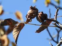Two walnuts on a walnut tree royalty free stock photos