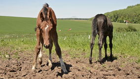 Two warmblood horse foals playing together on meadow. Warmblood horses playing together on meadow, about 4-6 weeks old stock video footage