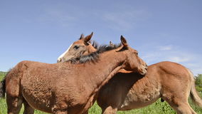 Two warmblood horse foals playing together on meadow. Warmblood horses playing together on meadow, about 4-6 weeks old stock footage