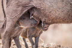 Two Warthog piglets suckling. Two Warthog piglets suckling in the Kruger National Park, South Africa Royalty Free Stock Photo