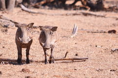 Two warthog. S standing side by side looking at the camera Stock Image