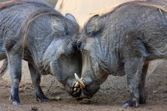 Warthog Standoff Royalty Free Stock Photos