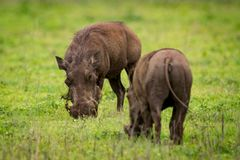 Two warthogs eating grass opposite each other Royalty Free Stock Image