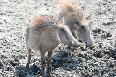 Two warthogs Royalty Free Stock Photo