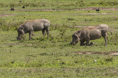 Two Warthogs on grass Royalty Free Stock Photography