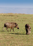 Two warthogs grazing in masai mara Royalty Free Stock Photos