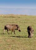 Two warthogs grazing in masai mara. Two warthogs grazing in kenya's masai mara. (Phacochoerus aethiopicus) vertical Royalty Free Stock Photos