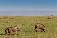 Two warthogs grazing in masai mara. Two warthogs grazing in kenya's masai mara. (Phacochoerus aethiopicus) Horizontal Royalty Free Stock Photo