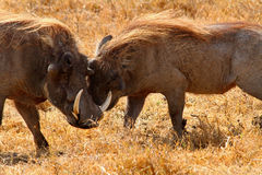 Warthog Greeting Royalty Free Stock Photography