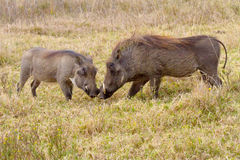 Two warthogs mother and piglet photographed in the Tala Private Game Reserve in South Africa Stock Image