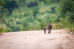 Two Warthogs running away. Stock Image