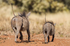 Two warthogs running away with tails errect Stock Images