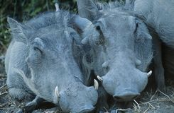 Two Warthogs side by side close-up Stock Photo