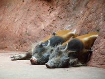 Two warthogs sleeeping. Two pigs (Phacochoerus africanus, warthog) lying contentedly in a cave royalty free stock photography