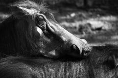 Two warthogs Stock Photo