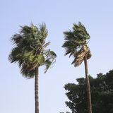 Two washingtonia palm trees blowing in the wind Stock Photo