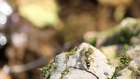 Two wasp standing on rock. Near water stock video footage