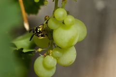 Two wasps foraging on grapes stock images