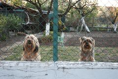 Two watchful and barking dogs behind a fence. In the garden Stock Photos