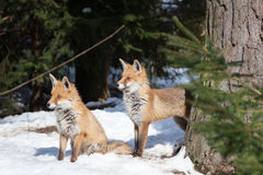Two foxes in winter Royalty Free Stock Photography