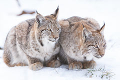 Two watchful lynx Royalty Free Stock Photo